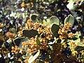 Rhamnus alaternus subsp. myrtifolia FlowersCloseup2 SierraMadrona.jpg