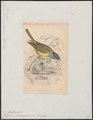 Rhipidura cinereocapilla - 1838 - Print - Iconographia Zoologica - Special Collections University of Amsterdam - UBA01 IZ16500081.tif