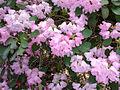 Rhododendron 'James Barto' at Benmore Botanic Garden (475876971).jpg