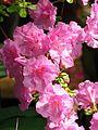 Rhododendron cv. 002.JPG