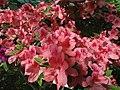 Rhododendron cv. Kiev Grishko 05.jpg