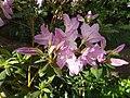 Rhododendron cv. Kiev Grishko 17.jpg