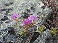 Rhododendron lapponicum.jpg