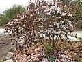 Rhododendron rubiginosum - University of Copenhagen Botanical Garden - DSC07630.JPG
