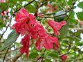 Rhododendron thomsonii - Hillier Gardens - Romsey, Hampshire, England - DSC04741.jpg