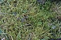 Rhytidiadelphus squarrosus (a, 144729-474806) 5966.jpg