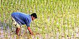Rice Field2.jpg