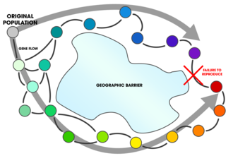 "Ring species - In a ring species, gene flow occurs between neighbouring populations of a species, but at the ends of the ""ring"" , the populations cannot interbreed."