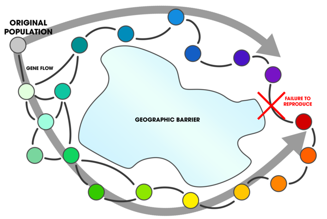 Ring Species (gene flow around a barrier).png