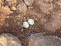 River tern-Nest 04 - Koyna 042011.JPG