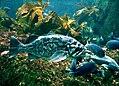 Rockfish Monterey Bay Aquarium.jpg
