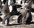 Rockhopper Penguin with Chicks (5583132276).jpg