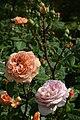 Rosa 'Charles Austin'.jpg