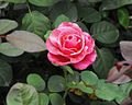 Rosa 'Elbflorenz' Mainau - 1.jpg