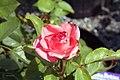 Rosa Aromatherapy 0zz.jpg