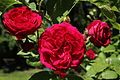 Rosa Chevy Chase.jpg