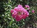 Rosa Lovely Fairy 2018-07-10 5581.jpg