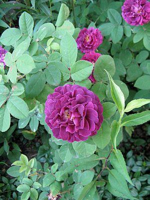 Rosa gallica - Rosa gallica 'Tuscany superb'
