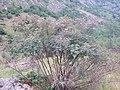 Rosa glauca plant (01).jpg