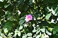 Rosa glutinosa 8088.jpg