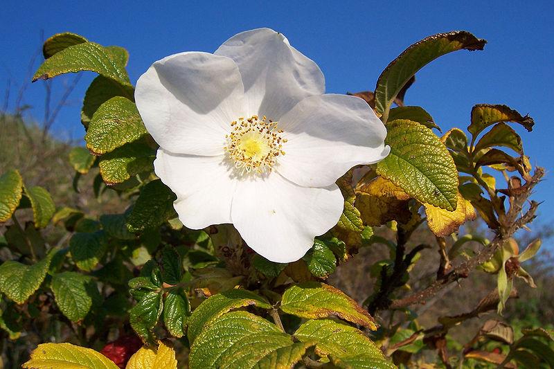 http://upload.wikimedia.org/wikipedia/commons/thumb/2/26/Rosa_rugosa_Bluete.jpg/800px-Rosa_rugosa_Bluete.jpg