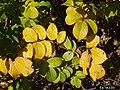 Rosa rugosa leaf (14).jpg