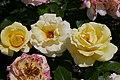 Rosarium Baden Rosa 'Avec Amour' Tantau 2014 02.jpg