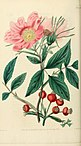 Rosarum monographia, or, A botanical history of roses - to which is added an appendix, for the use of cultivators, in which the most remarkable garden varieties are systematically arranged, with (14743960716).jpg