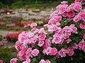 Rose, Carefree Wonder, バラ, ケアフリー ワンダー, (13183769353).jpg