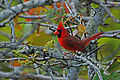 Roter Kardinal (Cardinalis cardinalis) B. Walker.jpg