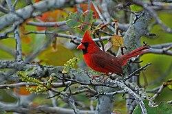 Un cardinal rouge, mâle, en Floride