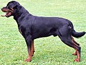 Rottweiler standing facing left.jpg