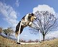 Rough Collie japan05.jpg