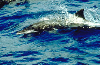 Rough-toothed dolphin - Image: Rough toothed dolphin