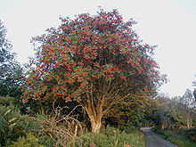 Medium-sized tree bearing small red fruits, standing next to a country lane
