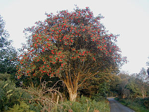 Sorbus aucuparia - A roadside tree with fruit in Ireland