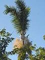 Royal Palm in flower? (43865348892).jpg