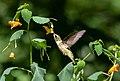 Ruby-throated hummingbird in BBG (42809).jpg