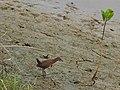 Ruddy breasted crake (Porzana fusca) 3.jpg