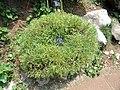 Rumex hastatus - Kunming Botanical Garden - DSC03025.JPG