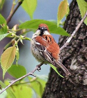 Russet sparrow - Breeding male in Kullu, India