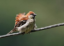 A male perching on wires and ruffling its feathers