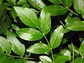 Rutaceae - DIctamnus albus-1.JPG