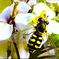 Sírfido (Syrphidae).jpg