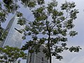 SZ 深圳博物館 Shenzhen Museum tree crown Aug-2010.jpg