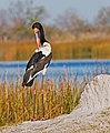 Saddle billed stork (6132141369).jpg