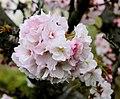Sakura in Sochi.JPG