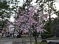 Sakura of Unomori park , 鵜の森公園の桜 - panoramio.jpg