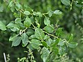 Salix-caprea-02-fws.jpg