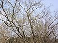 Salix eriocarpa3.jpg